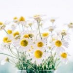 Chamomile: Uses and Benefits (plus 10 recipes and why your garden needs it!)