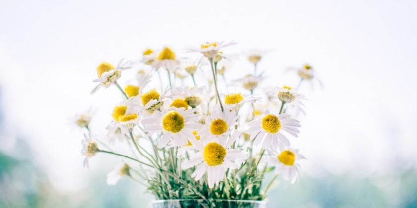 Chamomile uses, benefit, and growing