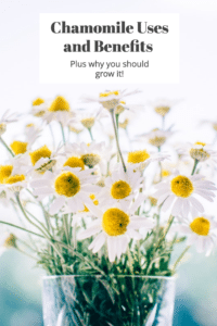 Chamomile: Uses and Benefits (plus why you should grow it) #herbalremedies #herbs #growyourown #naturalbeauty #reclaimingvitality